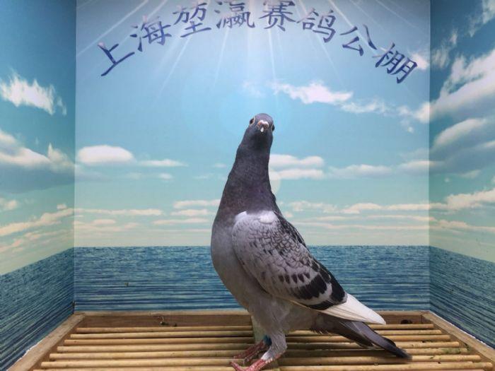 上海堃瀛赛鸽秋棚5月6日集鸽入棚靓照(4)
